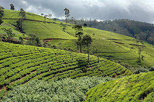 Tea plantation in the Dimbula area
