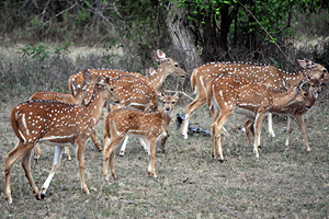 Chitals (Spotted Deer)
