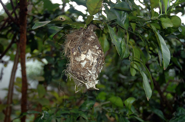 bird nest at an orange tree mihintale sri lanka