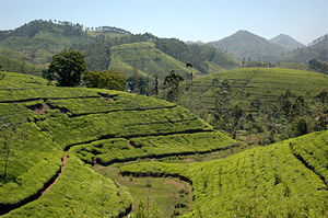 Dimbula Tea plantations