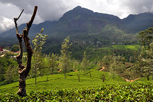 Dimbula Tea area