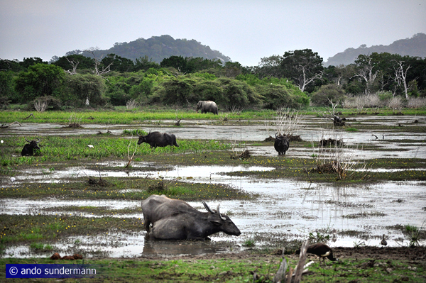 Feral water buffaloes in Yala National Park