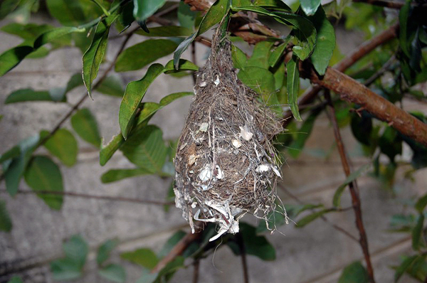 honey bird nest in the garden of Nuwan's guest house mihintale sri lanka