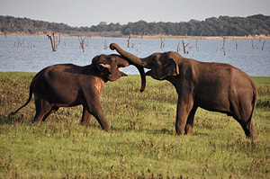 Sri Lanka elephant gathering at Kaudulla reservoir
