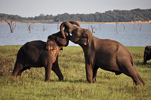kissing elephants in Sri Lanka's Kaudulla National Park