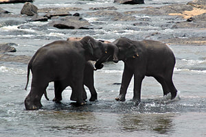 bathing elephants at Pinnawela