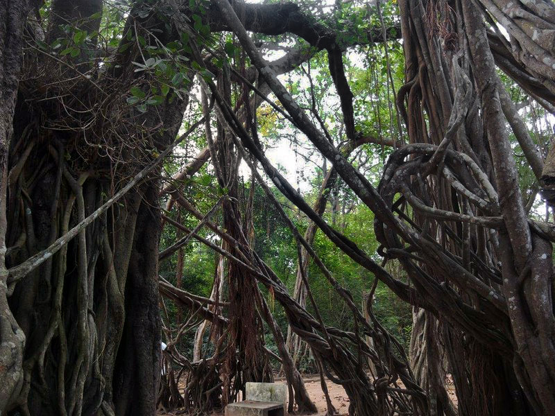 Banyan tree of Tapovane between Anuradhapura and Mihintale