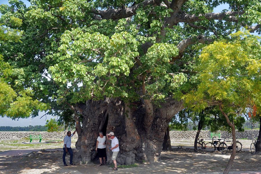 Baobab tree on Delft Island