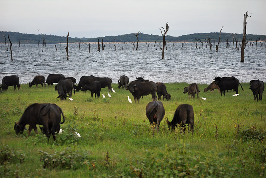 water buffaloes at Lake Kaudulla in Sri Lanka