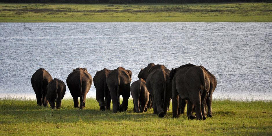 wild elephants in Kaudulla national park in Sri Lanka