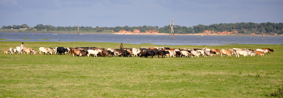 livestock grazing at Kaudulla reservoir in Sri Lanka