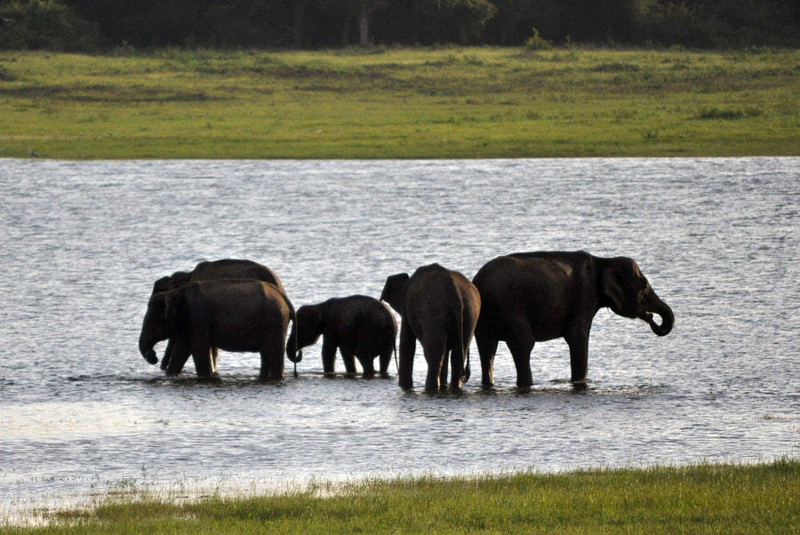 bathing elephants in Sri Lanka's Kaudulla national park