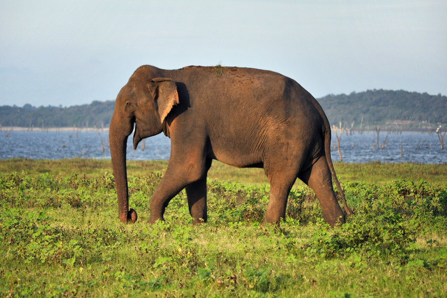 elephant at lake Kaudulla in Sri Lanka