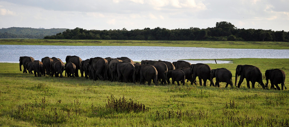 Elephant Gathering in Sri Lanka's Kaudulla national park