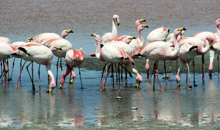 Greater Flamingos, migratory birds in Sri Lanka