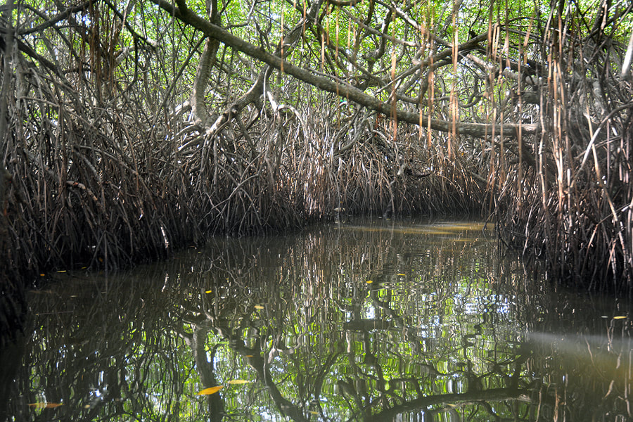 Mangroves of Madu Ganga