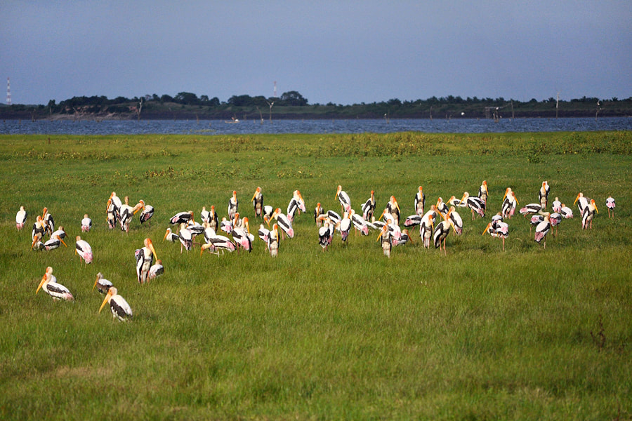 flock of painted storks at Kaudulla tank in Sri Lanka