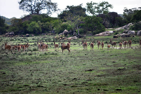 herd of chitals in the plains at Bagura Lagoon of Kumana NP