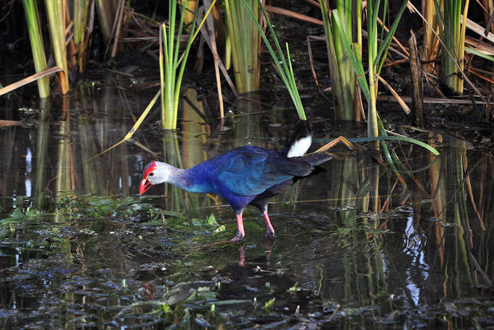 Grey-headed swamphen (Porphyrio poliocephalus), formerly considered a subspecies of Purple swamphen (Porphyrio porphyrio)