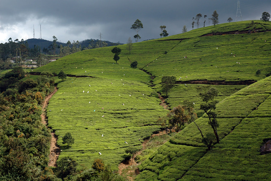 Nuwara Eliya tea plantation