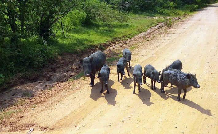 wild boars and piglets in Yala National park