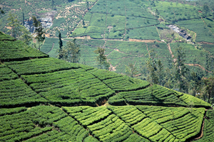Ceylon Tea plantations