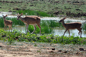 spotted deer in Wilmanna Sanctuary near Bundala
