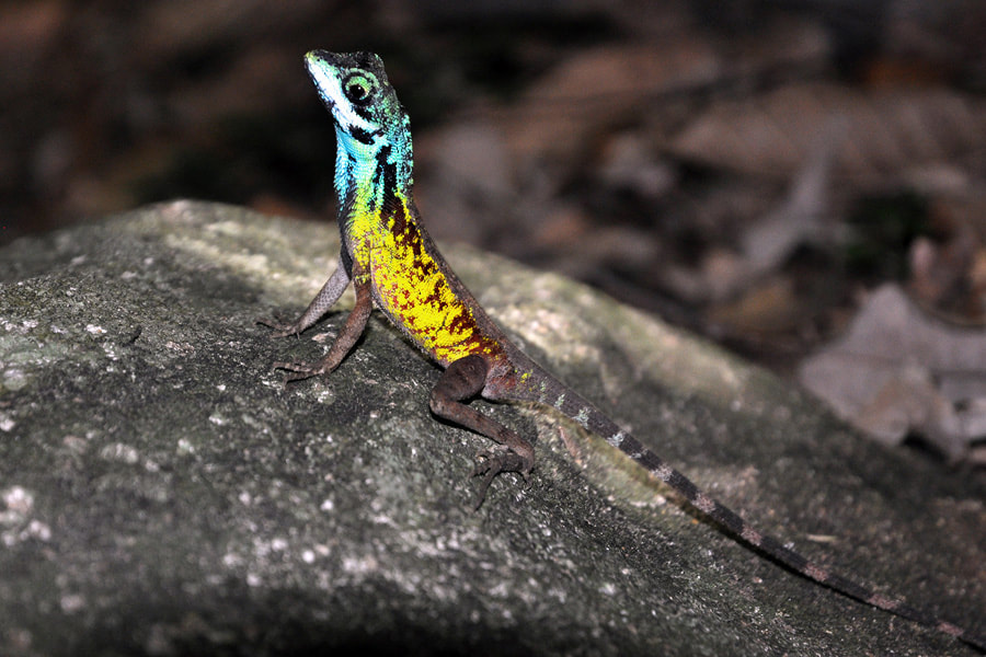 colourful Agama in Ritigala in Sri Lanka