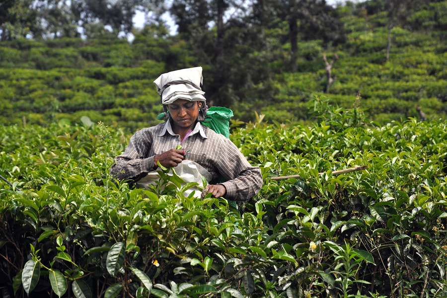 Tea Picker in the the area of Little Adam's Peak